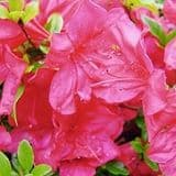 Azalea 'Mother\'s Day' - Find Azleas,Camellias,Hydrangea and Rhododendrons at Loder Plants